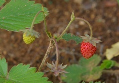 WildStrawberry2010.jpg